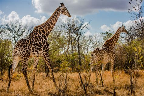 What is the height of a adult giraffe jpg 1000x667